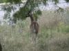deer-4