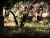 hill_country_deer4