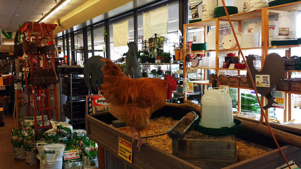 rooster at local hardware store  u2013 tim u0026 39 s world